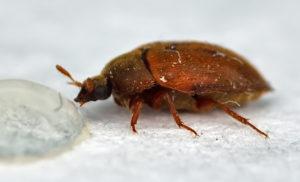 Маленькие коричневые жуки в квартире.