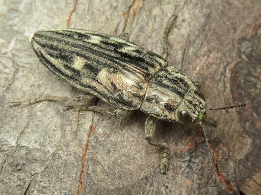 Это крупный жук тёмно-бронзового цвета, который отливает медным блеском. Активность он проявляет в начале лета. Личинки встречаются в стволах и пнях сосен. Распространение в пнях различных хвойных деревьев. Этих златок не очень много, а ввиду вырубки старых посадок их вскоре может быть катастрофически мало.