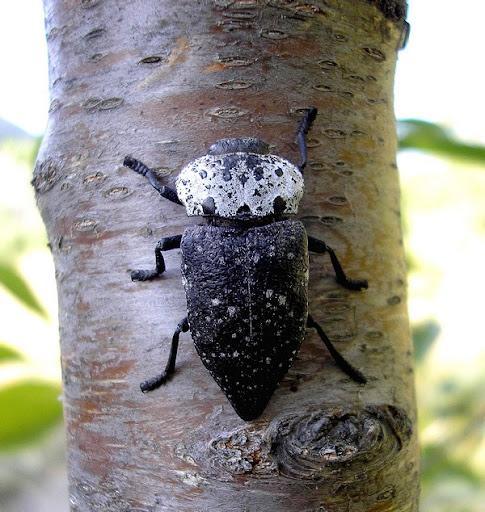 Это жук чёрного матового цвета с передней спинкой в черных и белых разводах. Он является одним из самых вредоносных представителей. Жуки и личинки любят питаться различными косточковыми породами. Этот представитель крайне распространён и очень плодовит. Одна самка может отложить до 2,5 тысяч яиц. Лёт жука наблюдается на протяжении всего лета. Особенностью характера является чрезвычайная осторожность. Чёрная златка очень быстро перебирается на другую сторону ветви или падает на землю при малейшем чувстве опасности.