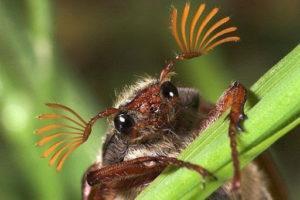 Майский жук умеет летать.