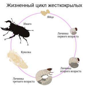 Жизненный цикл жуков рогачей.