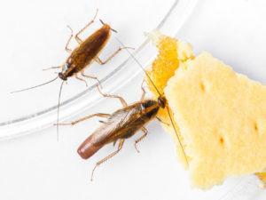 Как избавиться от тараканов народными средствами.