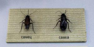 Пара чёрных тараканов.