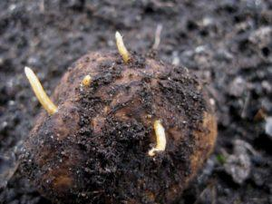 Средства от проволочника на картофеле.