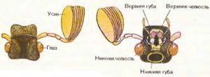Что ест майский жук.