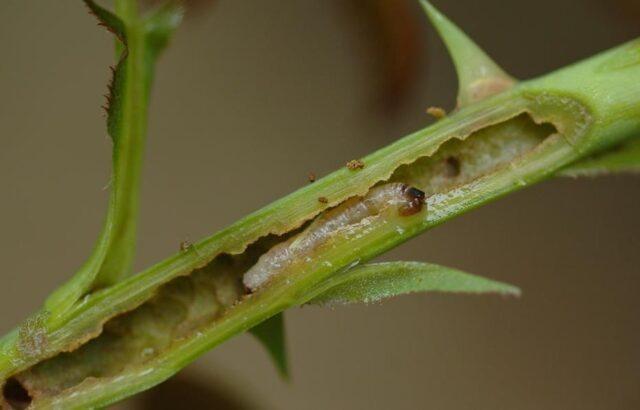 Красивые кусты повреждаются несколькими видами пилильщиков. Среди розанных есть изменчивый, нисходящий и восходящий.