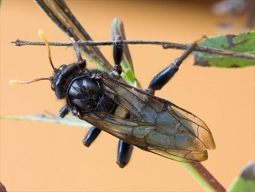 Еловый пилильщик повреждает молодые иголки ели, особенно он опасен в конце мая, начале июня. После тёплой зимы, появляется огромное количество личинок, уничтожающих иголки на молодых побегах.