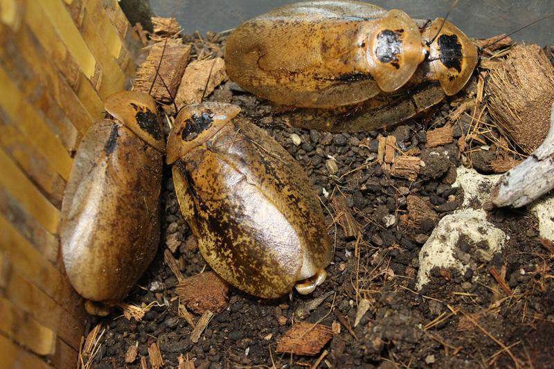 Обитатель лесной подстилки густых тропиков Центральной и Южной Америки. Особь с крыльями достигает размеров 7 см. Есть неподтверждённые данные о женских особях, которые имеют длину в 11 см.  Архимандрит, как его еще называют, красивый и крупный. Лесной житель является неприхотливым, растёт долго, не плодит большое количество потомства. Они не кусаются, но и не проявляют никаких эмоций к людям.  Семейка жителей в аквариуме являются забавными жителями. Они подвижны, любят копаться в лесной подстилке и карабкаться по корягам в собственном жилище. Немного могут даже планировать.
