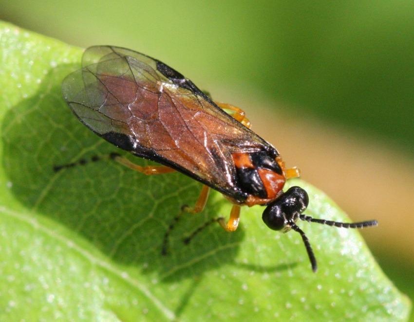 Рапсовый пилильщик наносит вред культурам из семейства крестоцветных: листья капусты, редьки, репы, горчицы, редиса, дайкона, также он повреждает бутоны и молодые стручки. Взрослые насекомые длиной 6-8 мм. Тело желтовато-оранжевого цвета с черной головкой. Ложногусеницы зеленовато-серые, покрытые бородавками. У них 11 пар ножек, и длина тела может быть 20-25 мм.