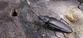 Крупнейшая разновидность в Европе. Тело длиной максимум 6 см. Насекомое наносит ущерб хвойным посадкам и древесным сооружениям. Массовая вырубка лесов привела к сокращению численности популяции. В связи с этим его занесли в Красную книгу.