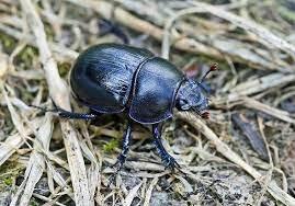 Лесная разновидность. Обитает в смешанных или широколиственных лесах, рощах бука. Размер тела не более 2 см. Надкрылышки синие металлические с пунктирными канавками. Крылья фиолетового, зелёного, коричневого цвета.