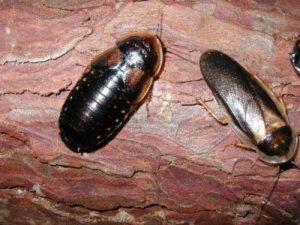 Аргентинские тараканы.