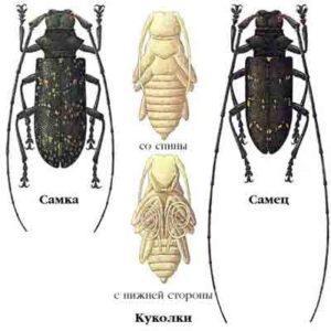 Жук усач: взрослые и личинки.