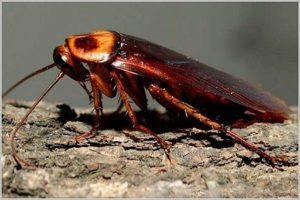 Американский таракан: фото.