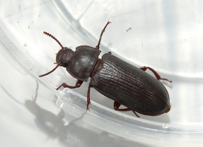 Этот представитель мучных хрущаков может достигать длины 5-5,5 мм. Тело окрашено в тёмно-коричневый или чёрный цвет, с матово-блестящей поверхностью. Усики средней длины, немного утолщаются ближе к краю. Личинка окрашена в светло-коричневый цвет и перед окукливанием может достигать длины 12 мм.