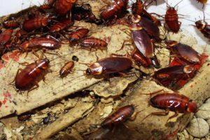 Тараканы в жилище.