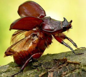 Самка жука носорога.