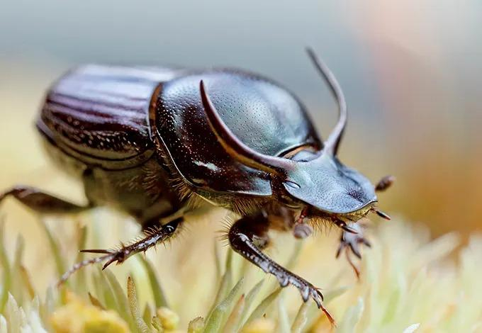 Его также называют быком-калоедом. Размер тела 1,5 см. Форма тела уплощённая. На голове есть парные выросты.