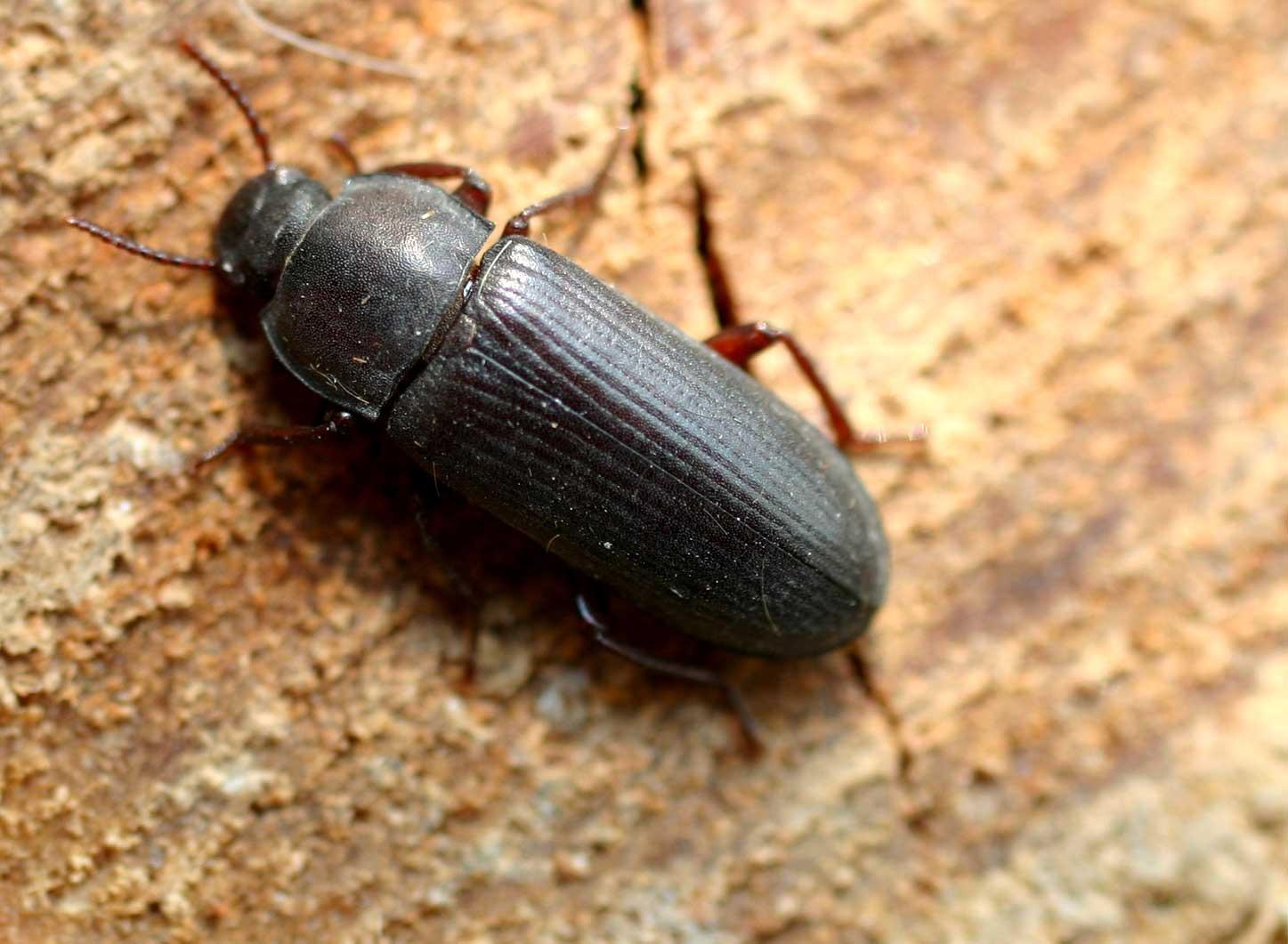 Длина взрослых особей может достигать 12-18 мм. Окрас верхней части тела чёрный, с бурым оттенком и характерным блеском. На нижней стороне тела насекомого присутствует красноватый оттенок. Усики жука состоят из 11 члеником и имеют чётковидную форму. Личинка этого вида в длину может достигать 25 мм. Окрас жёлтый, с буроватым оттенком. Глаза у личинки отсутствуют, а на грудном отделе имеется три пары ног.