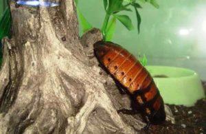 Мадагаскарский таракан: разведение.