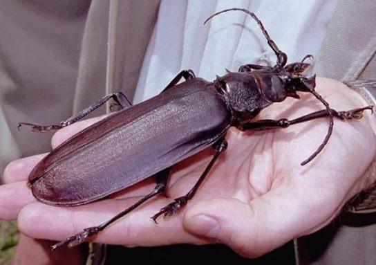 Один из крупнейших представителей усачей. Максимальная длина достигает 22 см. Места обитания — слои листьев, пни, коряги. Активность проявляется в ночное время. Этим видом особо интересуются коллекционеры. В нынешнее время дровосека-титана занесли в Красную книгу