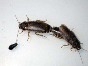 Как размножаются тараканы.