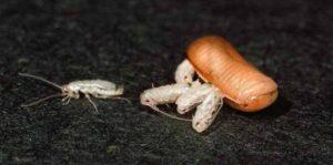 Личинка таракана.