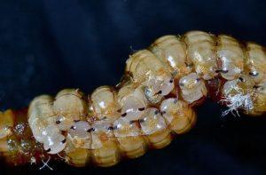 Личинки тараканов.