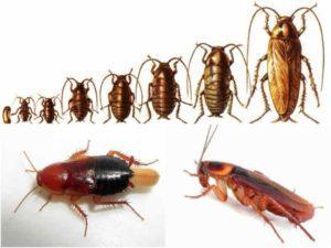Размножение тараканов.