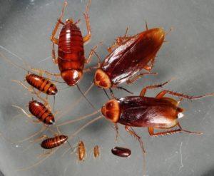 Маленькие тараканы: фото.