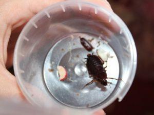 Большие чёрные тараканы в квартире.
