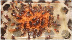 Туркменские тараканы.