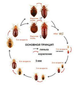 Как рожают тараканы.
