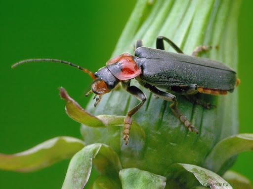 В отличии от большинства представителей вида и имеет черные лапки и спинку. Иногда сероватые. Встречаются в Европейской части России и лесах Сибири.